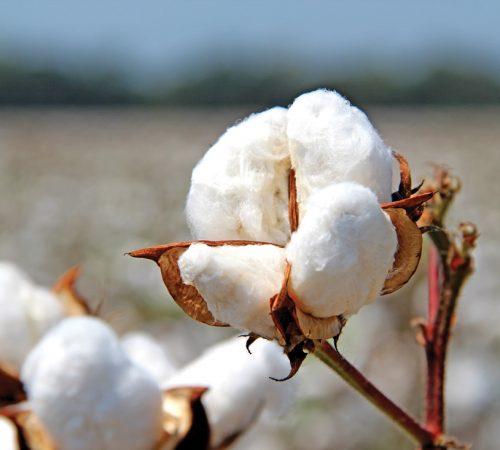 CottonBoll